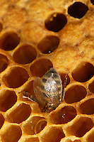 A bee taking honey in a wax cell.