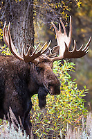 A large Bull Moose in his full autumn glory in Grand Teton National Park Wyoming.
