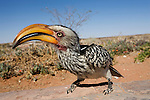 Southern yellowbilled hornbill, Tockus leucomelas, Kgalagadi Transfrontier Park, South Africa