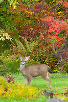 Deer is standing on lawn of garden with Fall colors of trees in background