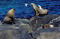 Sea Lions, South Australia coast