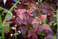 Physocarpus Lady in Red in spring May color, ninebark foliage plant shrub