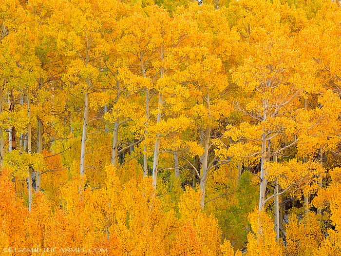 Sierra Aspen Grove
