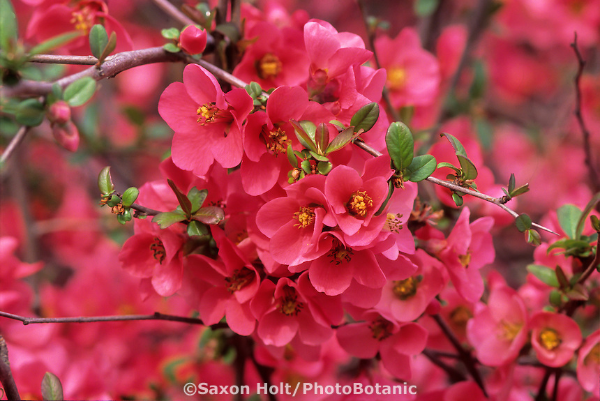 Chaenomeles 'Coral Sea' (Flowering Quince) coral red flower blossoms