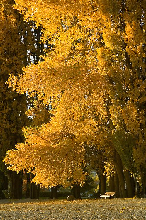 Sunlit Poplar, Lake Wanaka, New Zealand - stock photo, canvas, fine art print