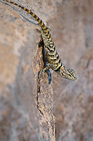 442800019 a wild yellow-backed spiny lizard sceloparus uniformis perches on a rock along chalk bluffs road near bishop inyo county california