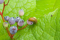 Slug pest insect on fruit berry of Diphylleia cymosa Umbrella leaf