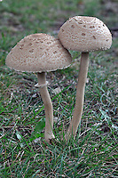 Parasol Mushrooms (Macrolepiota procera)