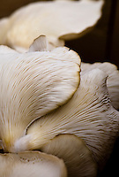 Stock photo of Oyster mushrooms (Pleurotus ostreatus).