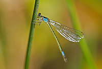 337850019 a wild female painted damsel damselfly heteragrion heterodoxum  perches on a water plant on the membis river near royal john mine road grant county new mexico united states..GPS:N 32.73066.         W -107.86653