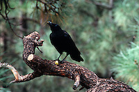 BIRDS<br /> Raven In A Tree