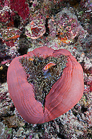 RH0623-D. Pink Anemonefish (Amphiprion perideraion), living in symbiotic relationship with Magnificent Sea Anemone (Heteractis magnifica). Palau, Pacific Ocean.<br /> Photo Copyright &copy; Brandon Cole. All rights reserved worldwide.  www.brandoncole.com