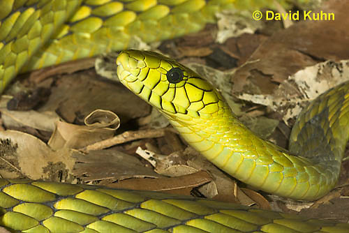 0423-1118  Western Green Mamba (West African Green Mamba), Detail of Head, Dendroaspis viridis  © David Kuhn/Dwight Kuhn Photography