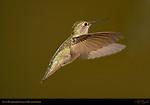 Anna's Hummingbird Female in Hovering Flight, Southern California
