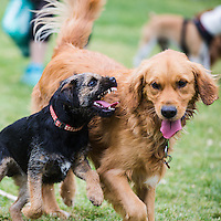 Archer the Border Terrier puppy playing with a Golden Retriever at Princes Park, Melbourne, October 2015