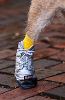 A dog wears a  specially designed dog shoe and sock, England, United Kingdom