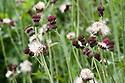 Thistle-like crimson-purple flowerheads of Cirsium rivulare 'Atropurpureum', end June.