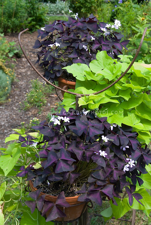 Ipomoea 'Sweet Caroline Green' with purple Oxalis triangularis in pots