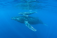 Humpback whales migrate to Hawai'i every winter; this whale mom and calf were seen near Maui.