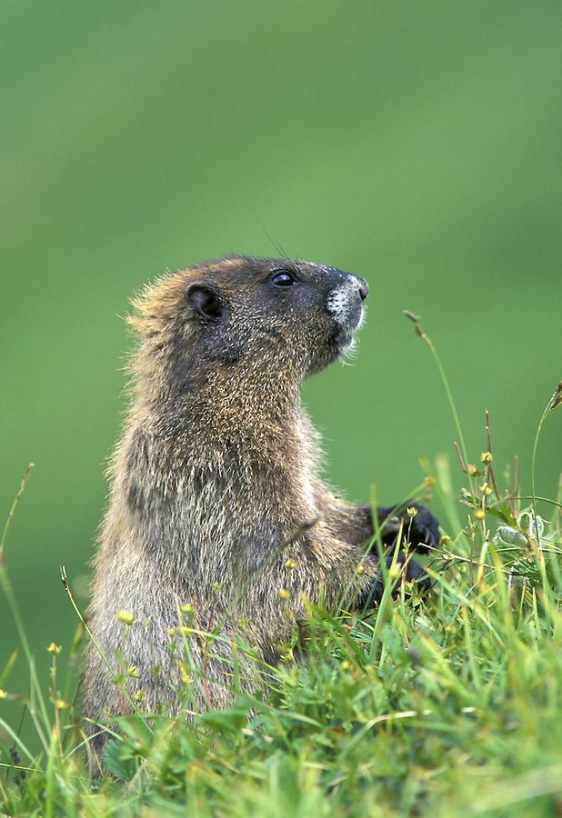 Hoary marmot, Berkley Park, Mount Rainier National Park, Washington