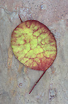Single burgundy and green disc of unripe seedhead of Honesty or Lunaria lying on pink marbled slate