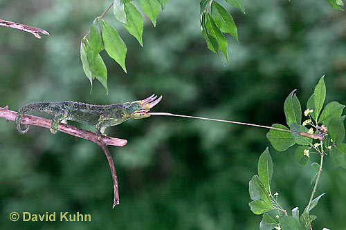 "1104-07zz  Jackson chameleon ""Shooting Out Tongue to Catch Insect"" - Chamaeleo jacksonii - © David Kuhn/Dwight Kuhn Photography [See 1104-07xx, 1104-07yy, 1104-07zz for Complete Tongue Flicking Sequence]"