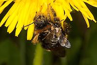 Hummel, Helle Erdhummel, Bombus lucorum, Wei&szlig;schwanz-Erdhummel, <br /> white-tailed bumble bee als Bl&uuml;tenbesucher an L&ouml;wenzahn hat eine Sandbiene, Andrena spec. auf dem R&uuml;cken, Huckepack