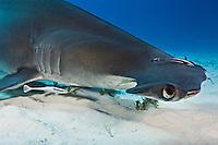 RR1795-D. Great Hammerhead Shark (Sphyrna mokarran), feeds on stingrays on the sand bottom, broad head has special sensory cells on underside. Bahamas, Atlantic Ocean.<br /> Photo Copyright &copy; Brandon Cole. All rights reserved worldwide.  www.brandoncole.com