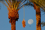 date palm and moon