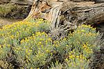 Rabbitbrush (Chrysothamnus nauseous) and log, Toiyabe National Forest, California