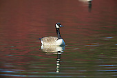 Canada Goose (Branta canadensis) Taking a short break from foraging, on calm water as the season of Spring begins. Originally the Canada goose was introduced to Britain in St James Park, London in the mid 17th century.