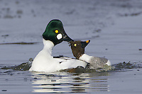 A pair of Common Goldeneye's mating on an icy lake