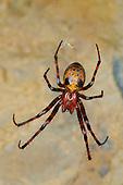Cave Spider (Meta menardii) common in Italian caves.