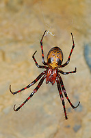 Cave Spider (Meta menardii) common in Italian caves.