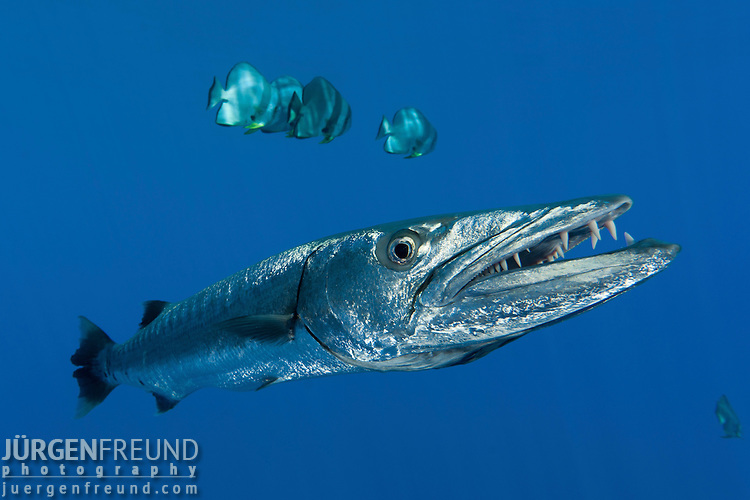Great barracuda with teira batfish jurgen freund for Freund s fish