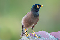 Common Myna (Acridotheres tristis) perched on a rooftop. (Siem Reap, Cambodia)