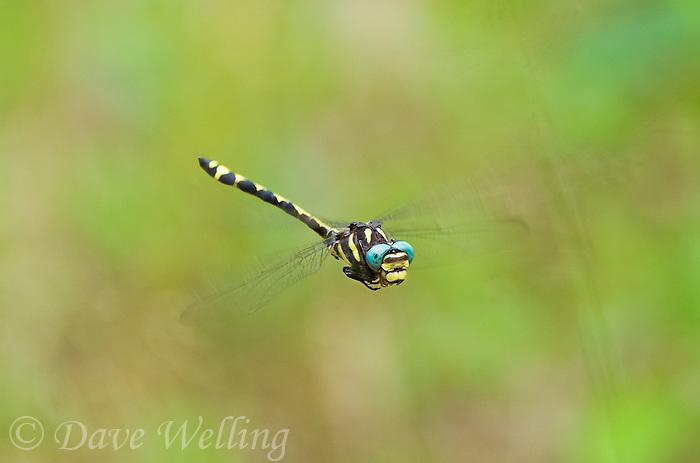 390030003 wild male arrowhead spiketail dragonfly cordulegaster obliqua hovering in flight sam houston national forest san jacinto county texas