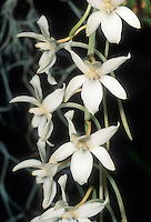 Aerangis mystacidii orchid species, native to South Africa against black background