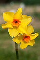 Daffodil (Narcissus 'Mowser'), a Division 8 Tazetta variety, mid February.