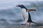 Antarctica Gentoo penguin