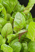 Leaf Beet 'Flamingo' Beta vulgaris cicla (chard)