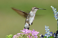 549750016 a wild female black-chinned hummingbird archilochus alexandri hovers over wildflowers in the hill country of central texas