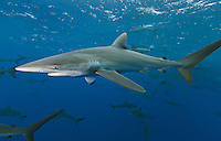 RM0681-D. Silky Sharks (Carcharhinus falciformis), dozens gathered together to feed on small fish in baitball. Baja, Mexico, Pacific Ocean. <br /> Photo Copyright &copy; Brandon Cole. All rights reserved worldwide.  www.brandoncole.com