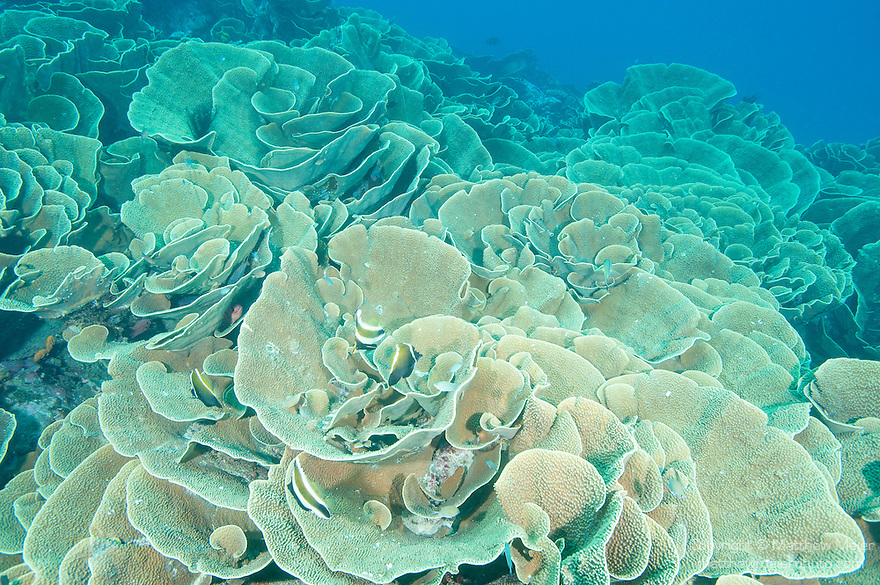 Cabbage Patch, Rainbow Reef, Somosomo Strait, Fiji; a large colony of cabbage coral (Turbinaria reniformis)