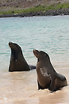 Santa Fe Island, Galapagos, Ecuador; two Galapagos Sea Lions (Zalophus wollebaeki) in the water, on the beach with the lagoon on the eastern edge of Santa Fe Island in the background , Copyright © Matthew Meier, matthewmeierphoto.com All Rights Reserved