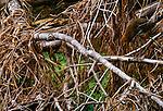 Rufescent tiger-heron, Llanos region, Venezuela