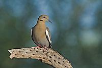 518240027 a wild white-winged dove enaida asiatica perches on a dead cholla plant in green valley arizona
