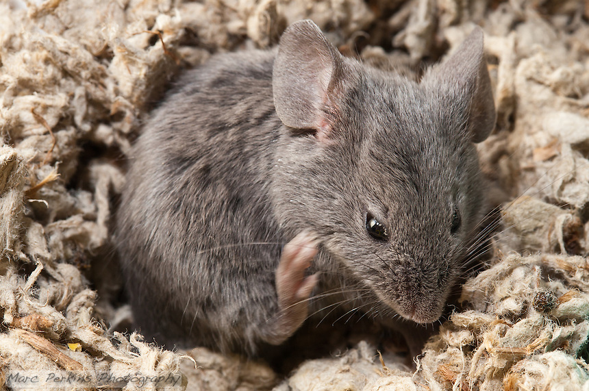 A gray male mouse curls up in a depression in the bedding and scratches his jaw/chin.  It's incredible how fast their hind paws move when they're scratching.