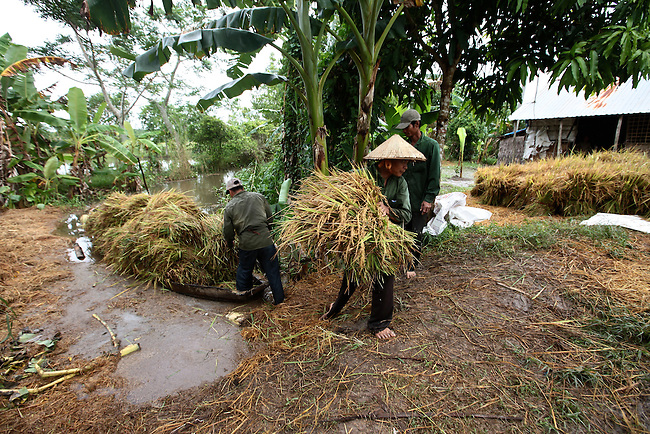 Men gather rice stalks in the Mekong Delta, south of Can Tho, Vietnam. Sept. 30, 2011.