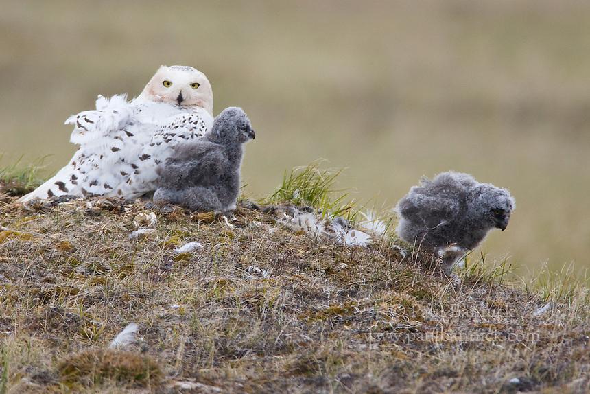 Snowy Owls Nest